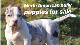 Pitbull Merle puppies for sale. Mega Built Bullies and Ultra Class Family. American Bullys