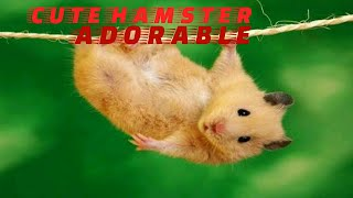 Hamters – Funny Cute Hamsters