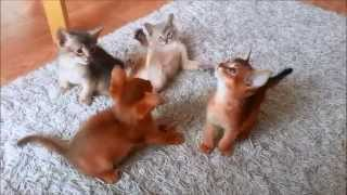 Abyssinian Kitten playing – 7 weeks old