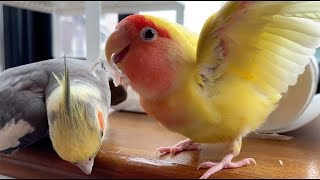 Cute Is Not Enough 🔴 Funny and Cute Parrots Videos Compilation #106