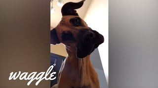 Best of Great Danes | Cute Dog Compilation