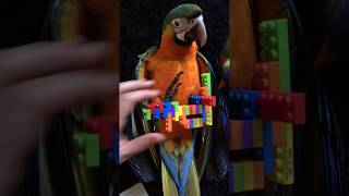 Cute birds playing with lego
