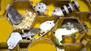 Cute Hamsters With Bee Race Obstacle Course