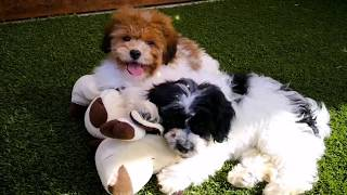 Toy Shoodles are the curliesta and most intelligent puppies EVER!