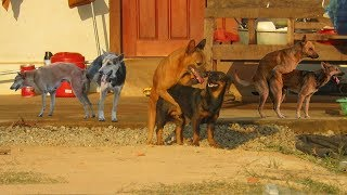 Amazing Holiday Summer Funny Rural Dogs !! Dog Meeting Meeting Successful At Village