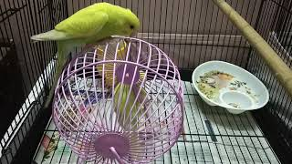 FUNNY BIRDS | BUDGIES | PARROTS PLAYING WITH WHEEL TOY #ParrotWorld #Parrot #Pet #Bird