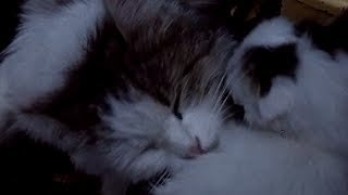 It's a Cat's Life (Documentary With Cute Cats & Kittens From The 1940s) By Frith Films