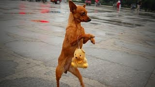 Cute Pets Standing 🐕🐕 Funny Dogs Walking On Two Legs (Full) [Funny Pets]