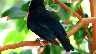 Violaceous Euphonias – Cute Little Orange & Blue Finch Bird Singing – Butterfly World, Coconut Creek
