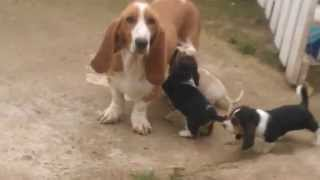 Basset Hound Puppies Playing (cute!) – Dogs and Puppies