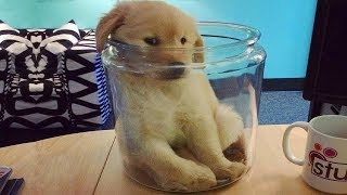 Funniest & Cutest Golden Retriever Puppies #17 – Funny Puppy Videos 2019