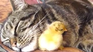 Cats Adopting Baby Birds Compilation 2014 [NEW] – FUNNY and CUTE