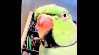 Incredible Talking Parrot   Funny Intelligent Birds