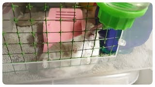 Funny Hamster Lay Down for Drinking Water – Hamster's Island
