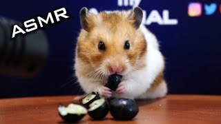 Hamster Eating Blueberry ASMR Funny Cute Animals | myANIMAL #17