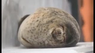THE ROUNDEST OF SEALS | Big funny fat seal compilation #5