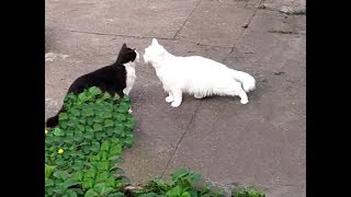 Cute cats – Turkish angora cat Lika meets Simon, is it a kiss in cats language?