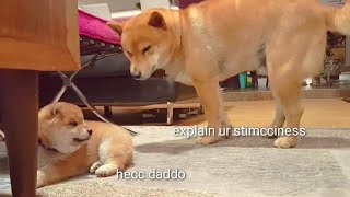 Shiro is dark & full of terrors – Shiba Inu puppies