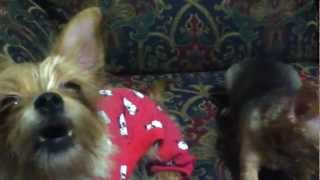 MY CUTE DOGS BARKING & HOWLING AT SQUEEKY TOY THEY LIKE