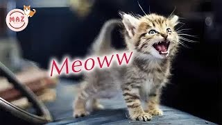 Funny Cat Meowing – Cute Cats Meowing – Kittens Meowing Videos – Cute Kitten Meowing Video – MEOW