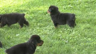 Nate Schrock's Rottweiler puppies for sale