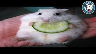Funniest Hamsters Of All Time – Funny Hamster Videos Compilation 2018
