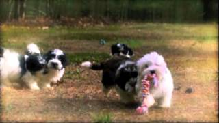 Blossom Havanese Clips From Too Cute Puppies Episode