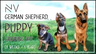 German Shepherd Puppy Growing Up (8 Weeks – 1 Year) | NerdVlog
