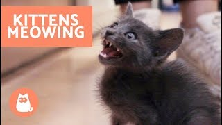 Why Do Kittens Meow a Lot? HELPFUL TIPS