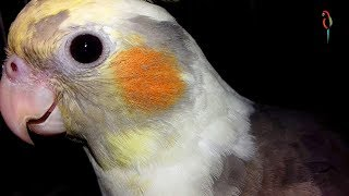 Tame & Talkative Cute Birds Doing FUNNY Stuff! Cute birds funny Videos