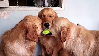 These golden retrievers will make you laugh your ASS OF – Funny dog compilation