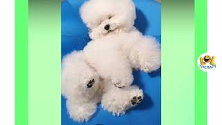 Cute poodles puppies doing funny things compilation 2019  Funny puppies  Funny dogs 7