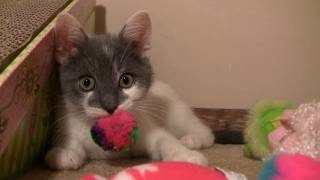 CUTE KITTEN GROWLING | LEO THE CAT