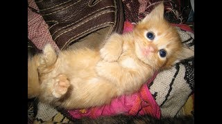 Cutest Cat in the world  – Adorable  Munchkin KIttens  Videos Compilation