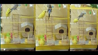 My cute birds 🐦 play together
