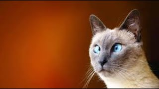 Oriental Shorthair Hypoallergenic Cats – Funny Cats 😅😅😅