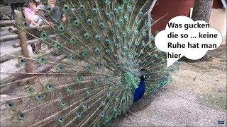 Funny Birds Compilation November 2017 Lustige Tiere Vögel November 2017 (1.0)