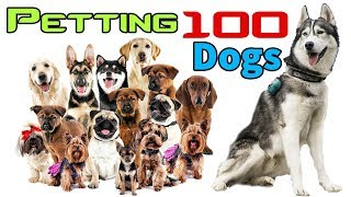 Petting 100 Cute Dogs Challenge in Dog Park | Husky Heaven | Cypher Malamute Husky