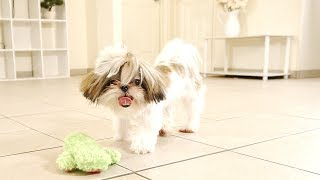 Playful Puppies | The Daily Shih Tzus