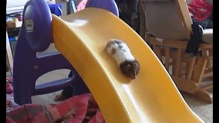 """Hamsters on Slides Compilation"" 
