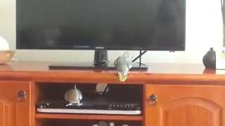 Cockatiel having a tantrum.  So funny