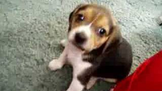 Playful Beagle Puppies