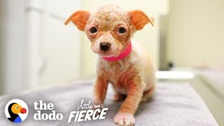 Watch Hairless 'Alien' Puppy Grow Up to be the Cutest Dog | Little But Fierce