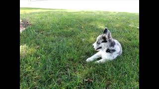 Pomsky Puppies For Sale David King