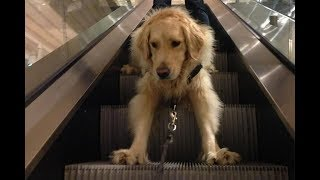 Funny Video Escalator Fails – Funny Dogs on Escalators Compilation (2019)