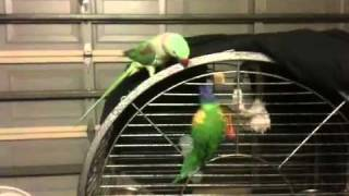Our 3 birds playing- Funny birds