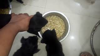 Pomrenian puppies eating Royal cannine call 9140752208
