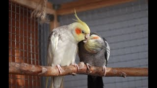 Cockatiel Parrot (Nymphicus hollandicus) Flirting and Love, Cute Birds