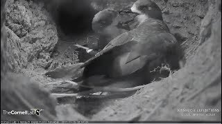 2017/11/15 18h54m Bermuda Cahow ~Mating… they are very cute birds~