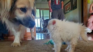 Adopted Kitten Shows Big Reaction To Meeting Her New Dog Siblings